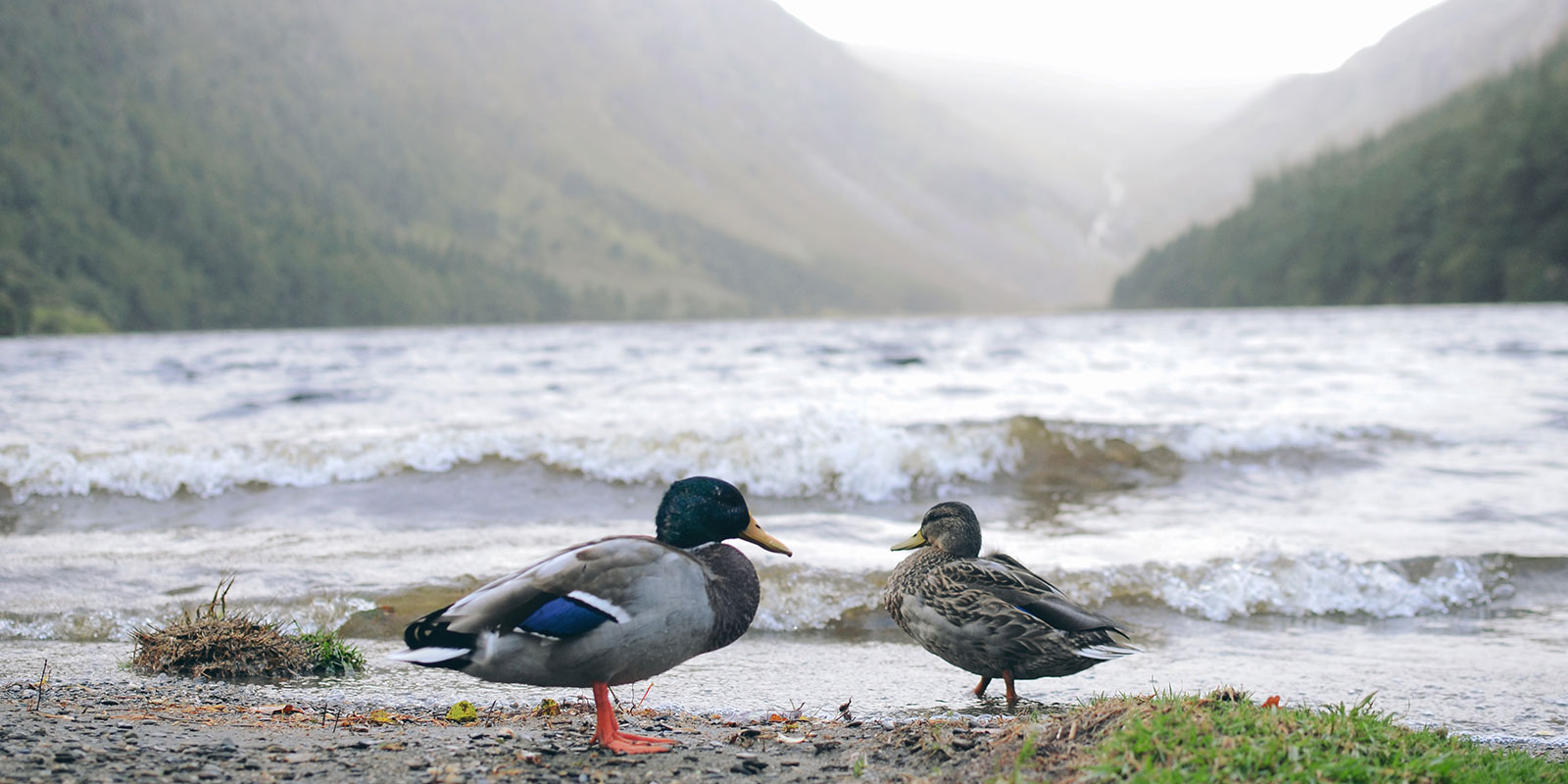 Ducks-At-Glendalough